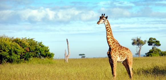 Giraff i Masai Mara Kenya
