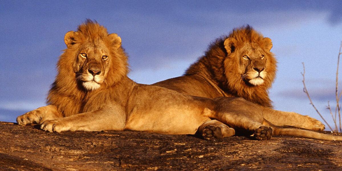 lejon i tsavo west national park kenya