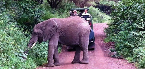 Elefant vid jeep i Lake Manyara