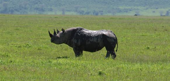 Noshörning i Ngorongorokratern