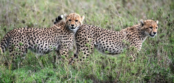 Geparder i Serengeti