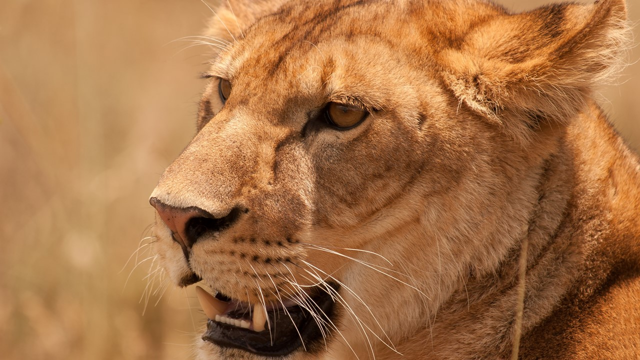 lejon i närbild