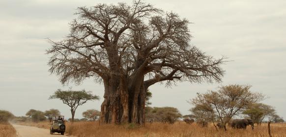 tarangire baobabträd