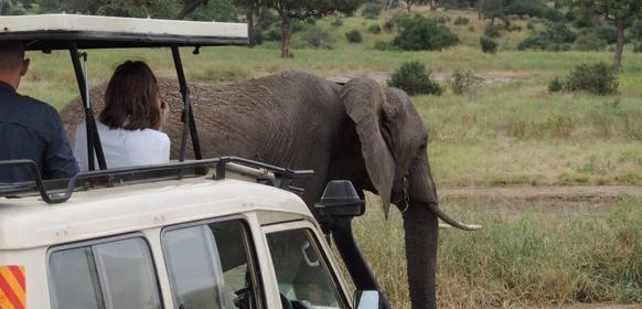 Elefant vid jeep i tarangire