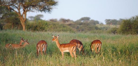 Impala flock i Tarangire