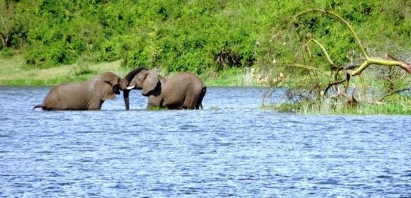 Elefanter Uganda